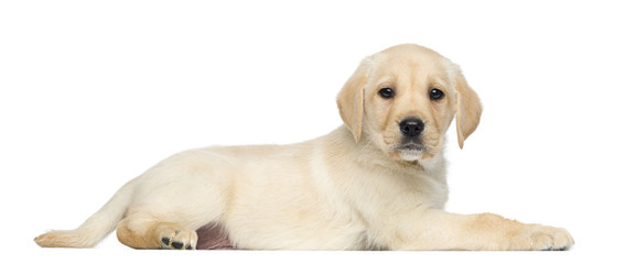 Labrador Retriever Puppy, 2 months old, lying and facing