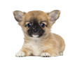 Chihuahua Puppy, 2 months old, lying and facing, isolated
