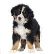 Bernese Mountain Dog Puppy, 2 months old, standing