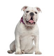 English Bulldog sitting, panting, isolated on white