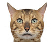 canvas print picture Close-up of a Bengal cat, 3 years old, isolated on white