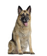German shepherd, 11 years old, sitting and panting