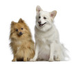 Two Spitz, 1 and 3 years old, sitting next to each other