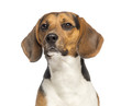 Close-up of a Beagle,11 months old, isolated on white
