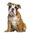 English Bulldog puppy, 3,5 months old, sitting, isolated on whit