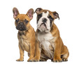 canvas print picture English Bulldog puppy and French Bulldog puppies, sitting