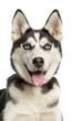 Close-up of a Siberian Husky puppy, 6 months old, panting