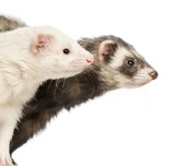 Close-up of two Ferrets, 2 years old, isolated on white