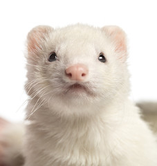 Close-up of a Ferret, 2 years old, isolated on white