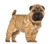 Shar Pei puppy, 2 months old, standing and facing