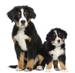 Two Young Bernese Mountain dogs, 3,5 months old and puppy, next