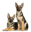 Two young German shepherd, sitting and lying down, 6 months old