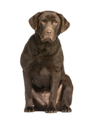 Chocolate labrador, 7 months old, sitting and facing
