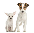 Chihuahua puppy and Jack Russell Terrier, next to each other