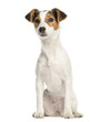 canvas print picture - Jack Russell Terrier, 5 months old, sitting, isolated on white