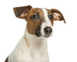canvas print picture - Close-up of a Jack Russell Terrier, isolated on white