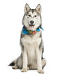 canvas print picture Alaskan Malamut wearing a blue scarf, sitting and panting, isola