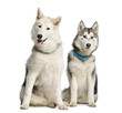 canvas print picture - Two Alaskan Malamut, sitting and panting, isolated on white