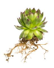 Hauswurz (Sempervivum) mit Wurzel auf weißem Hintergrund