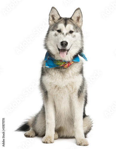 Alaskan Malamut wearing a blue scarf, sitting and panting, isola