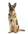 canvas print picture German shepherd sitting and looking away, 4,5 years old