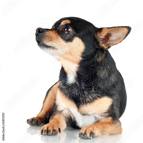 black chihuahua dog lying down