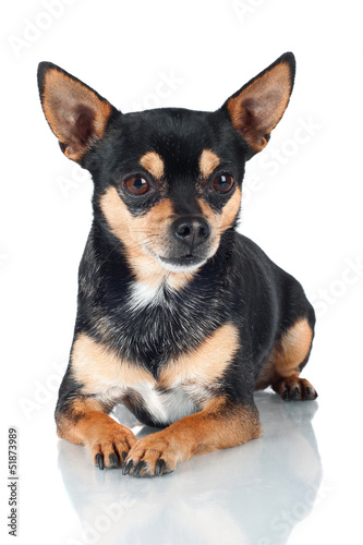 chihuahua dog lying down portrait