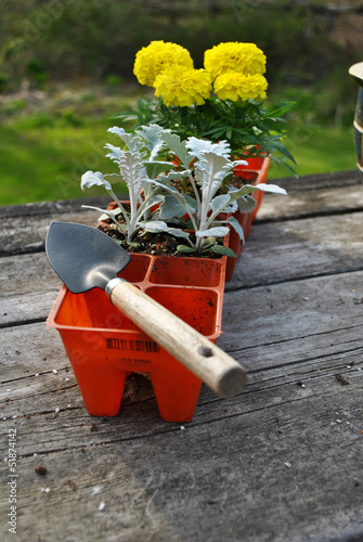 Planting Yellow Marigolds and Dust Millers