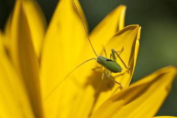 insetto su margherita gialla