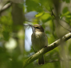 Chiffchaff with Feather