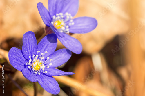 Blue Hepatica nobilis in spring