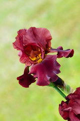 Deep red color Iris flower