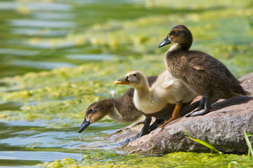 Cute ducklings drinking from the lake