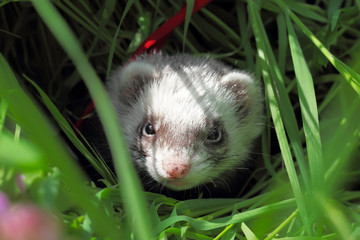 Sable ferret hiding in the grass. Close-up.