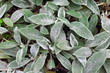 Stachys leaves background