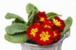 Red primrose, symbol of spring