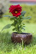 Red dahlia flower in wooden pot on fresh green grass in the gard