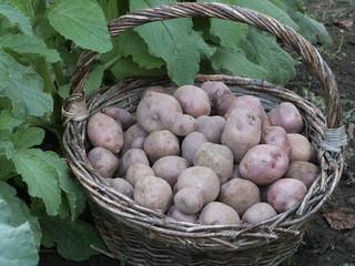 pomme de terre 'Bleue d'Auvergne'