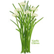 Garlic or Chinese Chives Fresh Herb, Asian cuisine, white flower