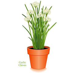 Garlic or Chinese Chives Herb, clay flower pot, Asian cuisines