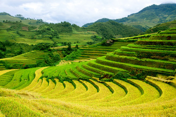 terrced rice fields - gold terraced rice fields in Mu Cang Chai,