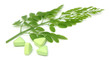 Edible moringa leaves with pills