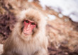 Smiling Japanese macaque