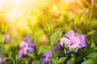 Cute blue flowers on a sunny meadow