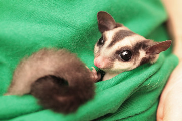 The sugar glider (Petaurus breviceps) lies