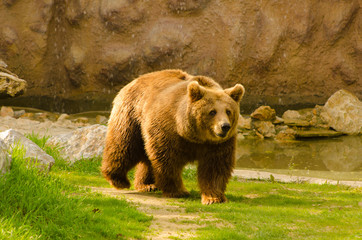 Brown bear in the zoo on sunny spring day
