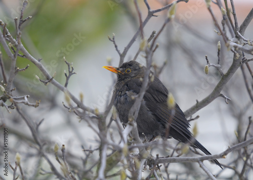 Common Blackbird (Turdus merula ) - female
