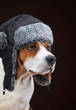 Portrait of young beagle dog