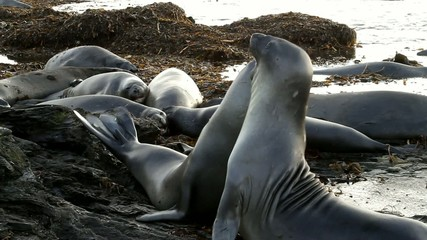 Young sea lions fighting