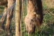 Konik horses eating outside a fence